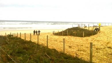Narture Ecologie ASP : stabilisation de la dune à Seignosse (40)